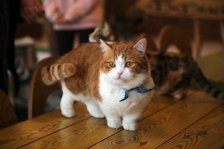 Gatti dalla razza piccola: caratteristiche e come prendersene cura