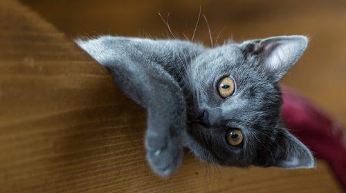 Razze di gatti con la lettera C: elenco completo e dettagliato