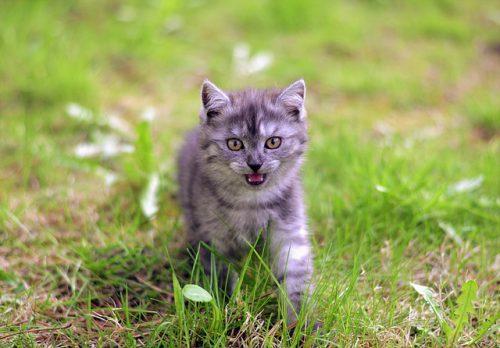 Razze di gatti con le iniziali D ed E: elenco completo e dettagliato