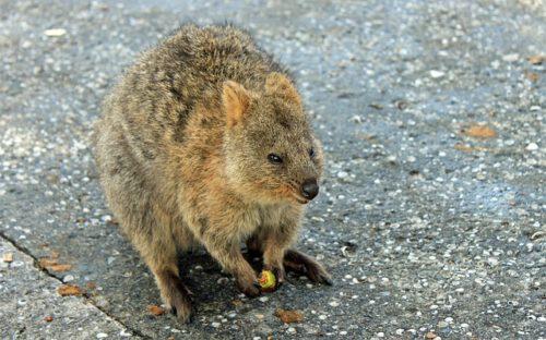 Quokka: dove vive l'animale pù felice del mondo? Caratteristiche e curiosità