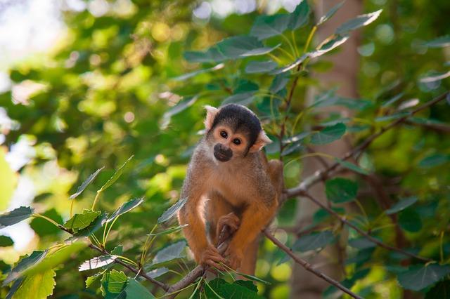 Scimmietta cappuccino: dove vive, cosa mangia, quante dita ha?