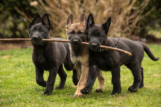 Cani da guardia: quali razze scegliere e quali sono le più acquistate