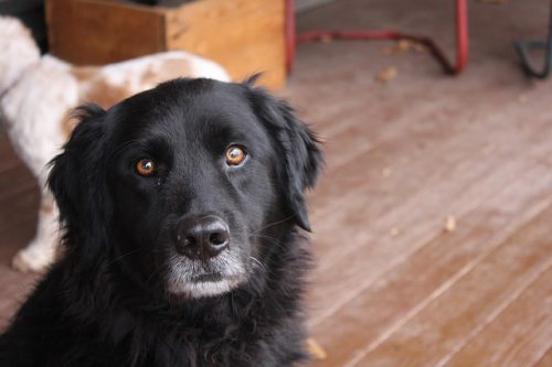 Cane simile al Terranova: qual è, caratteristiche e curiosità
