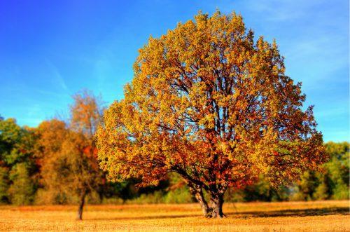 Terebinto, albero della trementina: caratteristiche e curiosità