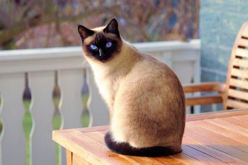 Carattere del gatto Siamese