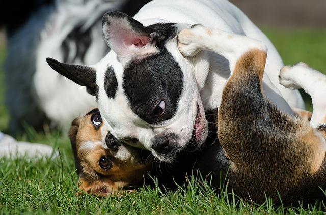Razze di cani dalla Be alla Bi: elenco dettagliato