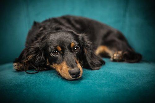 Razze di cani dalla Bl alla Br: elenco completo e dettagliato