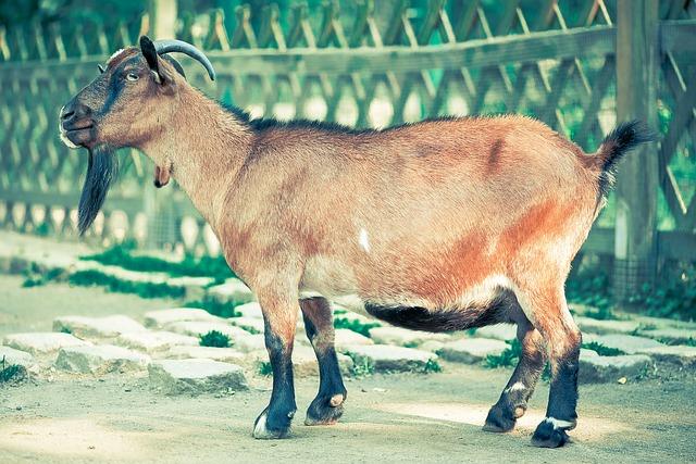 Maschio della capra: nome, caratteristiche, dove vive e cosa mangia