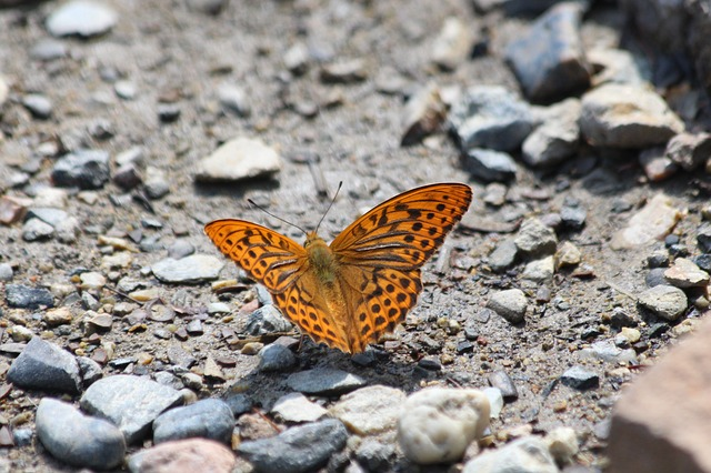 Farfalla arancione (Aglaia): descrizione della farfalla, specie, caratteristiche e significati