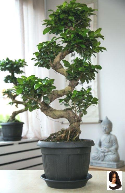 Bonsai Ginseng: come si coltivano per farli durare a lungo?